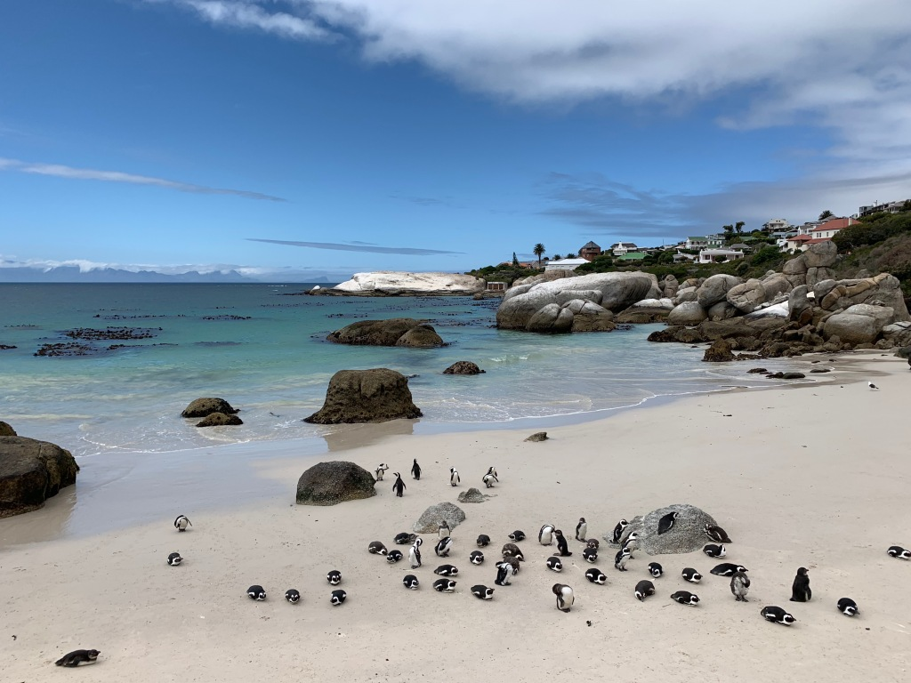 Penguins on the beach at Simon's Town, South Africa
