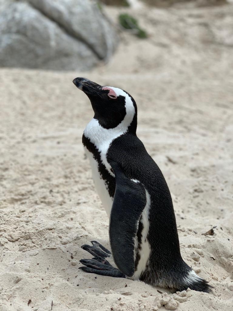 Closeup of a penguin, Simon's Town