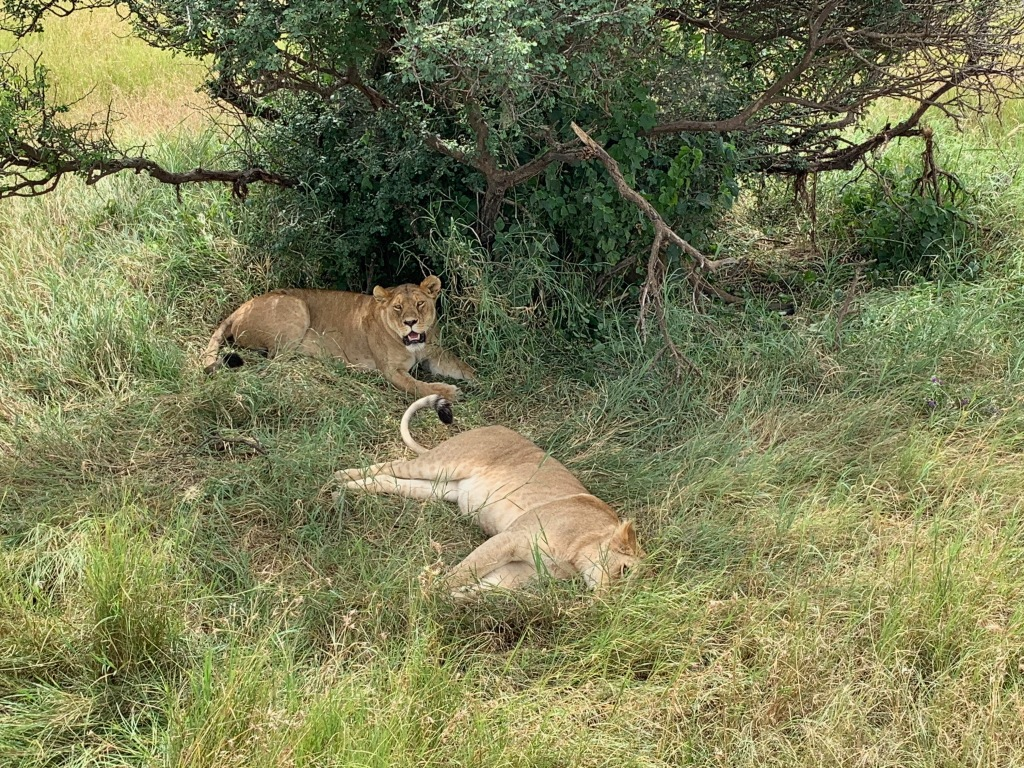 A pair of lionesses relaxing under a bush