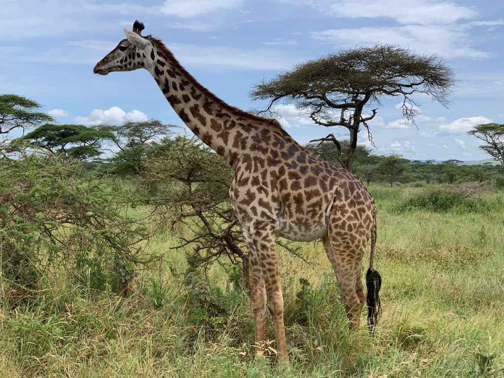 Profile view of a giraffe