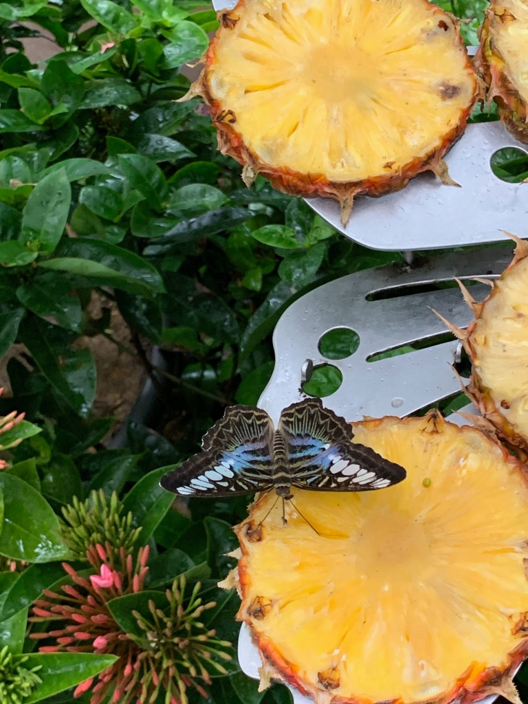 Butterflies feeding on pineapple at Singapore Changi airport's butterfly garden.