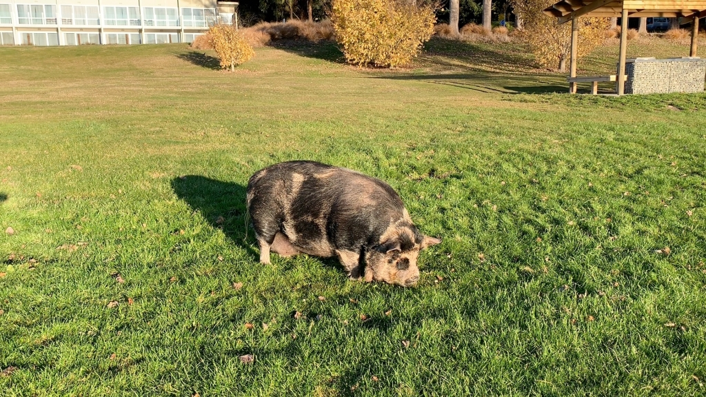 Penelope the Pig grazing in Te Anau