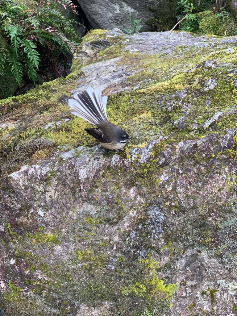Fantail (bird)